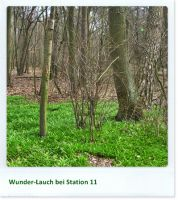 Wunder-Lauch bei Station 11